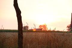 Sonnenuntergang (janakintrup) Tags: sonnenuntergang sunset gold gelb weizen feld licht gegenlicht rot orange canon lensflares baum gras gräser outdoor landschaft weizenfeld sonne sonnenschein abendsonne abendlicht natur