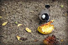 White-eared Bulbul (tinlight7) Tags: bulbul bird whiteearedbulbul dubai uae taxonomy:kingdom=animalia animalia taxonomy:phylum=chordata chordata taxonomy:subphylum=vertebrata vertebrata taxonomy:class=aves aves taxonomy:order=passeriformes passeriformes taxonomy:family=pycnonotidae pycnonotidae taxonomy:genus=pycnonotus pycnonotus taxonomy:species=leucotis taxonomy:binomial=pycnonotusleucotis pycnonotusleucotis  tutadorelhasbrancas taxonomy:common=whiteearedbulbul taxonomy:common= taxonomy:common=tutadorelhasbrancas