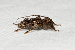 Psapharochrus circumflexus - Costa Rica (Nick Dean1) Tags: psapharochruscircumflexus polyphaga cerambycidae coleoptera animalia arthropoda arthropod hexapoda hexapod insect insecta costarica lakearenal guanacaste beetle longhornbeetle longhorn