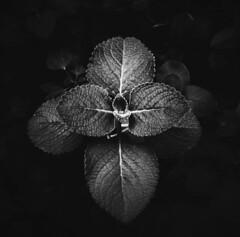 Richness.. (nshrishikesh) Tags: bnw blackandwhite blackandwhitephotography mono monochrome leaves nature contrast outdoor phone photography huawei vsco vscocam