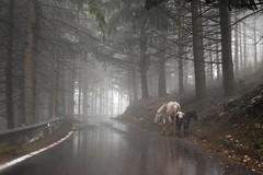 cavalli nella nebbia / horses in the haze (Vincenzo Elviretti) Tags: cavalli natura horse nature campaegli cervara di roma nebbia horses pini tree road haze asfalto riflesso ennio morricone oscar villa