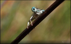 Hello! ( alfanhu) Tags: liblula dragonfly damselfly caballitodeldiablo ro river sella fontmajor marinabaixa macro closeup