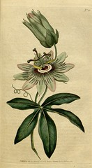 Passiflora caerulea, Blue Passion flower. Botanical Magazine, t. 1-36, vol. 1: t. 28 (1787) (Swallowtail Garden Seeds) Tags: illustration drawing botanicalillustration vintage vintageillustration flowers flowerillustration flower 19thcentury 19thcenturyillustration 1787 18thcentury swallowtailgardenseeds publicdomain botanicalmagazine volume1 edwards sowerby curtis plant plants blooms blossoms