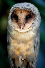 barn-owl_080716_1 (kazua0213) Tags: sd quattro sigma macro bird owl