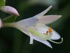 White Flower Macro (hbickel) Tags: white flower macro macrolens canont6i canon