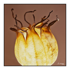 Still Life with 'Love in a Mist' Seedheads #3 (Simon Caplan) Tags: seedhead seedpod nigella loveinamist stilllife macro art tabletopphotography