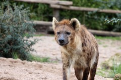 Hyne tachete_LOPITO (Passion Animaux & Photos) Tags: hyene tachetee spotted hyena zoo amneville france
