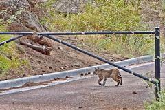 Why did the bobcat cross the road? (Pejasar) Tags: mammal wild bobcat woods mountains rockymountains wildcat cat feline hungry road cross estespark colorado animal