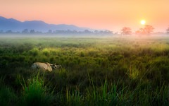 Kaziranga Daybreak (Achint Thomas) Tags: kaziranga india assam nationalpark rhino rhinocerous grass grassland sunrise magic animals wildlife vulnerable wwf safari morning mist wild winter animalplanet