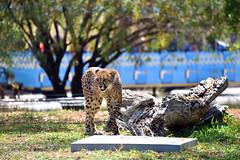 San Diego Safari Park Cheetah (GMLSKIS) Tags: sandiego safaripark california cheetah nikond750