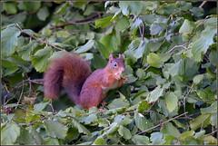 Ecureuil roux ( Sciurus vulgaris ) (norbert lefevre) Tags: animal sauvage ecureuil roux noisette feuillage