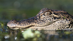 Something Different (PeterBrannon) Tags: alligator nature polkcounty florida wetlands eye closeup youngalligator