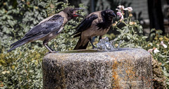 I'm thirsty too! (mariajensenphotography) Tags: birds nature water animals italy rome thirsty fountain colisseum ruins travel tourist