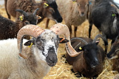 Wot Ewe Lookin At (dhcomet) Tags: herne hill lambeth country show sheep horns london