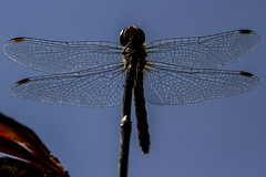 HWW! (The Mad Macrographer) Tags: dragonfly silhouette wingwednesday hww closeup commondarter venous wings canon7d canonef100mmf28lmacroisusm peterborough uk nikkvalentine