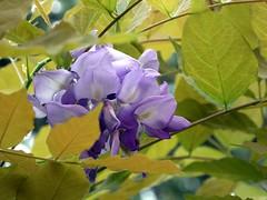 un glicine di agosto (fotomie2009 OFF) Tags: glicine wisteria flower fiore flora