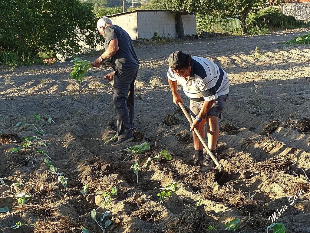 Águas Frias (Chaves) - ... plantando as couves para o Natal ... e não só ...