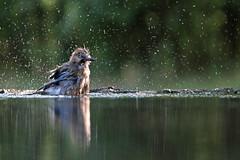 Geai chaud (Emmanuelle2Aime2Ailes) Tags: oiseau geai baignade eau gouttes reflet