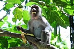 bon appetit (-Mina-) Tags: monkey indonesia bali food tree nature wildlife asia southeastasia ubud