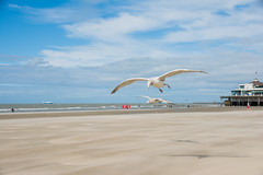 Seagulls. (Azariel01) Tags: 2016 blankenberge belgique belgie belgium mer sea zee northsea merdunord plage beach strand noordzee mouette seagull