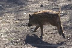 DSC04593-E (washuugenius) Tags: zoo photo stockholm piglet skansen squeaker wildboar