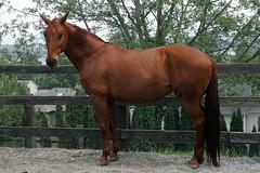 Millie Looking Exquisite (philotera) Tags: horse bayhorse beautifulhorse oldenburghorse horseinpaddock