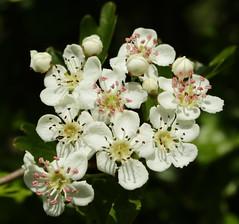 Mayflowers at last (northdevonfocus) Tags: spring mayflowers britishwildflowers