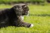 Running Cat (-Lervåg-) Tags: playing cat sylvester running chasing katt pus leker løper langhåret