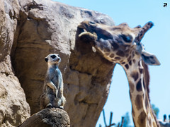 P1050963 (Fran Puig) Tags: nature meerkat natura giraffe girafa suricata