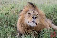 King of the Beasts (DragonSpeed) Tags: africa tanzania mammal lion safari mara tz pantheraleo serengetinationalpark loboregion tzday04 africanwildcatsexpeditions