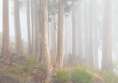 Moody Forest (optimalfocusphotography) Tags: sanfrancisco california trees usa mist nature northerncalifornia fog landscape moody minimal eucalyptus