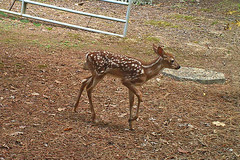 One of the twin fawns at our back gate (Vicki's Nature) Tags: brown yard georgia gate twin deer spots fawn bushnell trailcam 5226 vickisnature