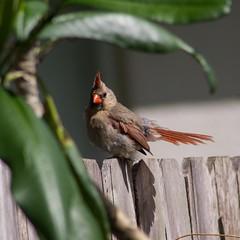 cardinal (gillieweed) Tags: cardinal backyard birds garden