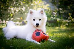 Dani (Juho Mkinen) Tags: japanese spitz dog puppy portrait white japaninpystykorva grass garden