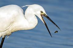 Aigrette garzette (kingfisher001) Tags: oiseaux oiseau baie de somme picardie france marais aigrette garzette pélécaniformes zone côtière ardéidés