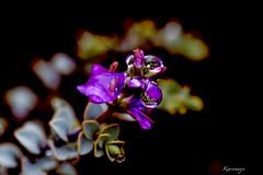 Perles d'eau reflets (kiareimages1) Tags: macro purple piante plantes macrophoto gocce macroflowers gouttes underbrush sottobosco fondnoir gouttesdeau macrophotographie goccedipioggia fleurscouvresol perlesdeaux kiareimaginations