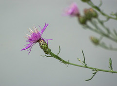 Flower (Seth J Dewey Photo) Tags: flower newhampshire nashua flickrphotowalk