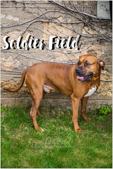 Soldier Field (living_dead_babe) Tags: bully dog breed charity animal woof