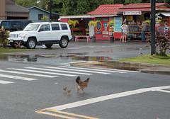 Learning rules of road (Igor Sorokin) Tags: us usa hawaii kauai island chicken hen chicks road funny street birds travel panasonic dmc pointandshoot ps