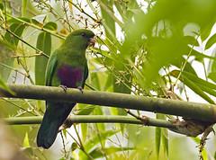 Blue-bellied Parrot - sabiá-cica - Triclaria malachitacea