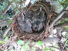 IMG_1354_Fotor01 (Ela's Zeichnungen und Fotografie) Tags: baby nest natur hannover vogel busch kcken