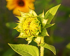 Patiently Waiting (thetrick113) Tags: helianthus sunflower bloom earlybloom beautiy sunrise beaconnewyork duck leaves light earlymorninglight goldenhour hdr depth dicot plant annual flower yellow petal flowerpetal sonyslta65v hudsonvalley hudsonrivervalley summer2016 summer 2016 garden