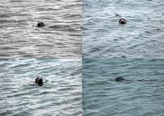 Seal watching (tommyajohansson) Tags: greatbritain beach geotagged scotland aberdeenshire unitedkingdom aberdeen seal seals newburgh weekendbreak faved slar citybreak sl newburghbeach tommyajohansson