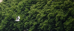 Alster bird (wiedenmann.markus) Tags: city summer urban green bird nature outdoor seagull hamburg natur stadt hh moewe alster vogel hanse innenalster