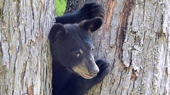 Black Bear & her 3 cubs. (Jim Mullhaupt) Tags: blackbear bear animal cub mother ursusamericanus omnivorous mammal deepwood elktownship nature animals creatures summer alleghenyriver kinzua alleghenynationalforest vacation travel warrencounty warren outdoor boating fishing jimmullhaupt trees forest landscape wallpaper pennsylvania russell scandia redoak camping cabins photo flickr geographic picture pictures camera snapshot photography nikoncoolpixp900 nikon coolpix p900 nikonp900 coolpixp900