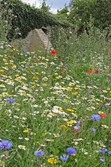 Wicken Wildflowers (zorro1945) Tags: wildflowers wicken wickennorthants northamptonshire england poppies cornflowers daisies