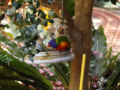 Lorikeets in Taree pic 2 (Gunzelman) Tags: nature birds newsouthwales lorikeets australianbirds australianfawna fujipics fujicamerapics gunzelman