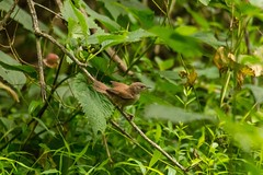 7K8A3822 (rpealit) Tags: scenery wildlife nature east hatchery alumni field hackettstown young house wren bird