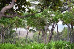 DSC33_3790 (heartinhawaii) Tags: maui hawaii makena makenabeachandgolfresort palms queenemmalillies foliage southmaui