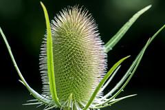Do not Grab it hurts (Evoljo) Tags: uk plant nikon thistle swindon grow prick wiltshire shaftsburylake d7100